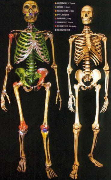 Scheletro neanderthal e sapiens